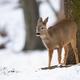 Roe deer doe looking aside in forest in wintertime nature - PhotoDune Item for Sale