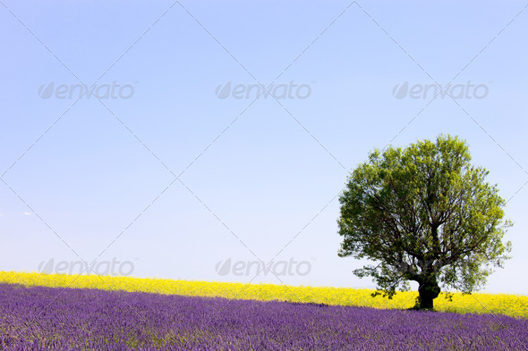 Lavender and yellow flowers blooming field, lonely tree. Provence, France - Stock Photo - Images
