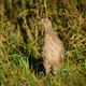 Female pheasant - PhotoDune Item for Sale