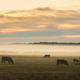 Cows on the foggy pasture - PhotoDune Item for Sale