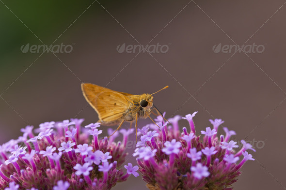 Skipper Butterfly - Stock Photo - Images