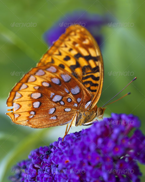 Fritillary Butterfly - Stock Photo - Images