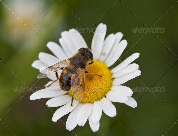 Honey Bee on Daisy - Stock Photo - Images