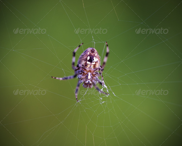 Orb Weaver Spider - Stock Photo - Images