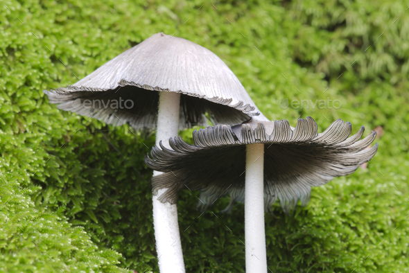 Mushrooms growing out of a tree trunk covered with green moss in Autumn season. - Stock Photo - Images