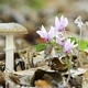 Panther cap mushroom, Amanita pantherina, with wild Cyclamen flowers. - PhotoDune Item for Sale