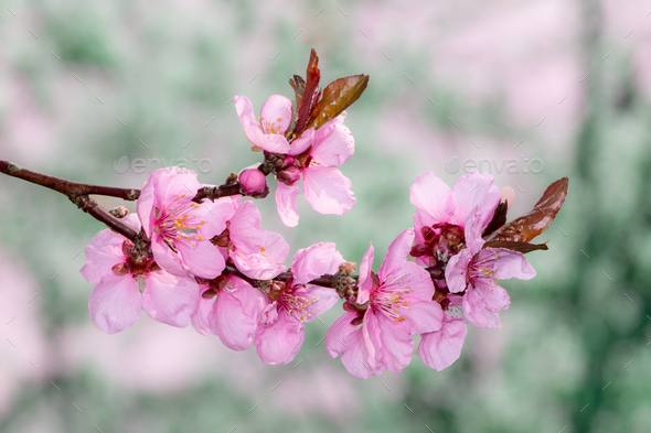 Pink peach blossoms - Stock Photo - Images