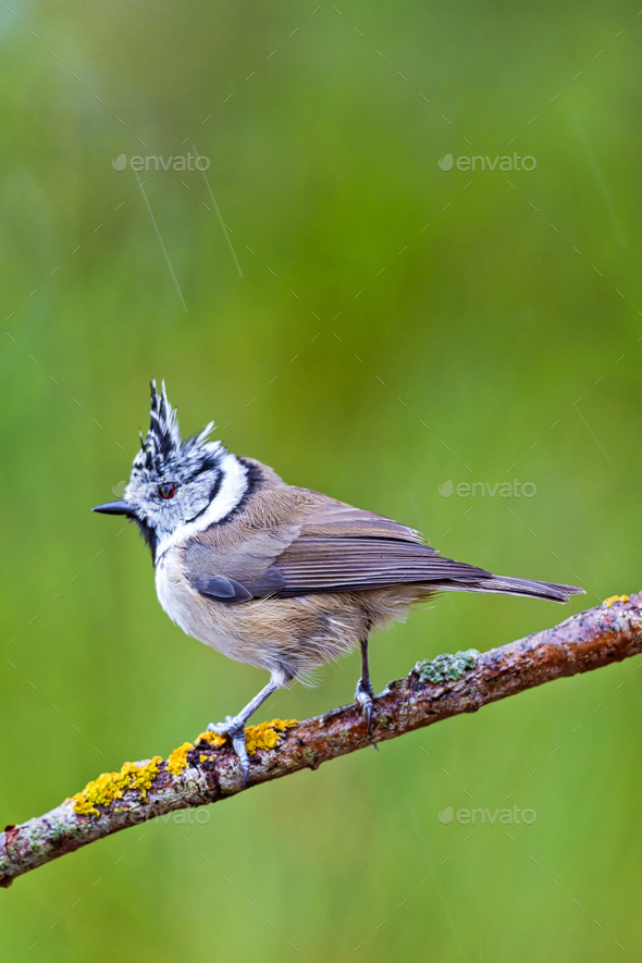 Crested Tit, Mediterranean Forest, Spain - Stock Photo - Images