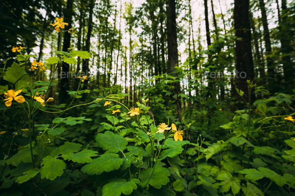 Green Spring Forest. Plant Ranunculus Acris With Yellow Flowers On Background Tall Trees - Stock Photo - Images