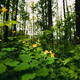 Green Spring Forest. Plant Ranunculus Acris With Yellow Flowers On Background Tall Trees - PhotoDune Item for Sale