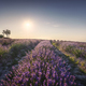 Lavender fields and trees at sunset. Santa Luce, Tuscany, Pisa, Italy - PhotoDune Item for Sale