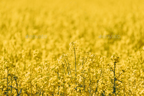 Close Up Of Blossom Of Canola Colza Yellow Flowers. Rapeseed, Oilseed Field Meadow - Stock Photo - Images