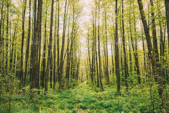 Fresh Spring Green Leaves Lush In Deciduous Forest. European Nature - Stock Photo - Images