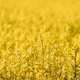 Close Up Of Blossom Of Canola Colza Yellow Flowers. Rapeseed, Oilseed Field Meadow - PhotoDune Item for Sale