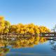 golden euphrates poplar forests in ejina - PhotoDune Item for Sale
