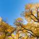 populus euphratica forest against a blue sky - PhotoDune Item for Sale