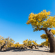 populus diversifolia against a blue sky - PhotoDune Item for Sale