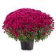 Blossoming purple chrysanthemum - PhotoDune Item for Sale