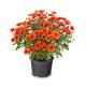 Blossoming red chrysanthemum - PhotoDune Item for Sale
