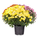 Bouquet of colorful chrysanthemum - PhotoDune Item for Sale