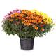 Flowering yellow, orange and pink chrysanthemum - PhotoDune Item for Sale