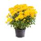 Flowering yellow chrysanthemum - PhotoDune Item for Sale