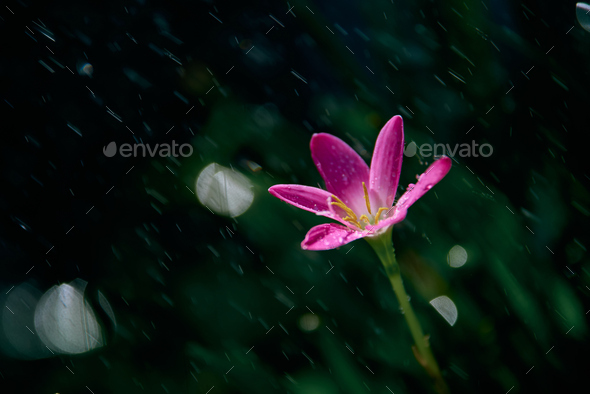 Raindrops on the tiny pink flower on a rainy day - Stock Photo - Images