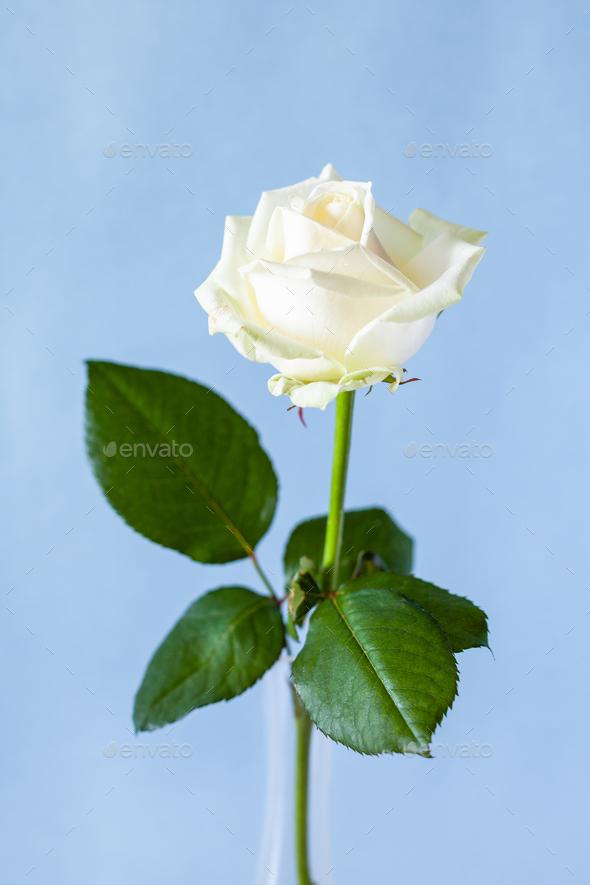 fresh white rose flower on pale blue background - Stock Photo - Images
