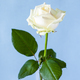 fresh white rose flower on pale blue background - PhotoDune Item for Sale