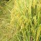 Rice Filed - PhotoDune Item for Sale