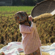 Traditional farmer harvesting rice - PhotoDune Item for Sale