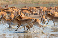 A herd of saigas gallops at a watering place - PhotoDune Item for Sale