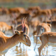 Close uo of saiga at a watering place drinks water - PhotoDune Item for Sale