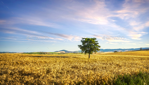 Tuscany countryside panorama, tree and wheat field. Pisa, Italy - Stock Photo - Images