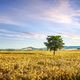 Tuscany countryside panorama, tree and wheat field. Pisa, Italy - PhotoDune Item for Sale