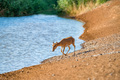 Saiga at a watering place drinks water during strong heat and drought - PhotoDune Item for Sale