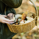 Harvesting edible mushrooms - PhotoDune Item for Sale