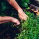 Woman Cutting Thyme in Backyard Garden - PhotoDune Item for Sale
