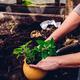 Replanting Lemon Balm - PhotoDune Item for Sale