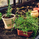 Fresh Herbs in Pots in Garden - PhotoDune Item for Sale