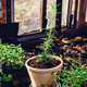 Repotted Rosemary in Backyard Garden - PhotoDune Item for Sale