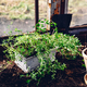 Repotted Thyme in Backyard Garden - PhotoDune Item for Sale