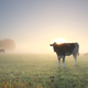 cows grazing on misty pasture at dawn - PhotoDune Item for Sale