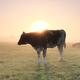 milk coes in sunrise fog - PhotoDune Item for Sale