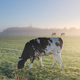 milk cows grazing on foggy pasture - PhotoDune Item for Sale