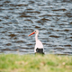 Adult European White Stork Standing In Green Grass Near River Or Lake - PhotoDune Item for Sale
