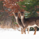 Young fallow deer siblings standing on field in winter - PhotoDune Item for Sale