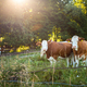 Spotted cows looking on green meadow in summer sunlight - PhotoDune Item for Sale