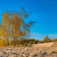 Yellow birch trees in semi-desert in autumn - PhotoDune Item for Sale