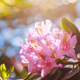 Blooming Pink Flowers of Rhododendron catawbiense In Spring Garden - PhotoDune Item for Sale
